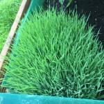 Weizengras -Smoothie (selbst angebaut)